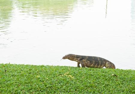 lizard in field: reptil anfibio de lagarto gigante, �til para campo biol�gico y Zool�gico de estudio Foto de archivo