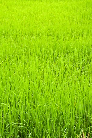 rice fields: green young rice in paddy field,North East,Thailand