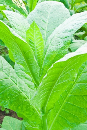 Tobacco leafs in a plant,North East,Thailand Stock Photo - 9368978