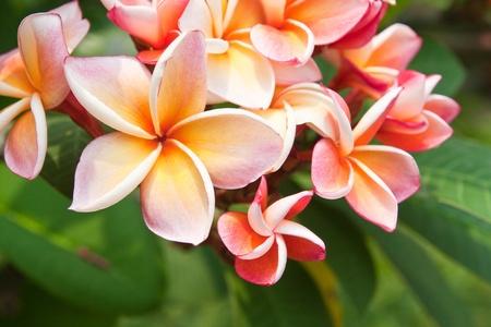 Plumeria flowers Stock Photo - 9383315