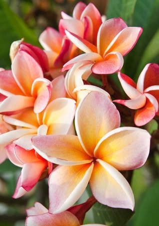 Plumeria flores