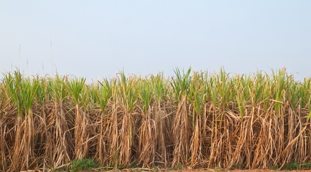 Plant of Sugarcane and blue sky,North East,Thailand Stock Photo - 9680246