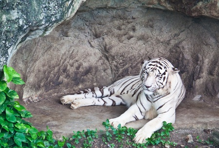 white tiger Stock Photo - 9840264