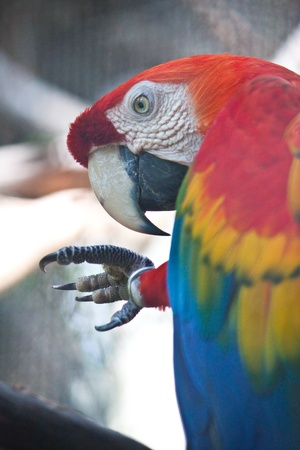 Green-winged macaw photo