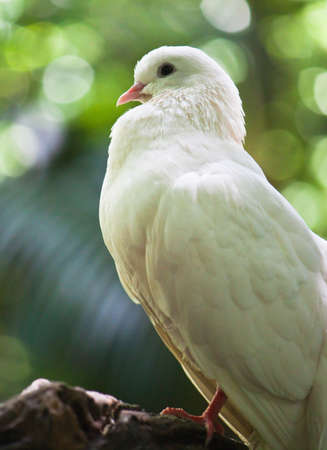 fantail: white fantail pigeon close up