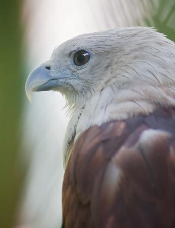 Brahminy Kite close up Stock Photo - 9840013