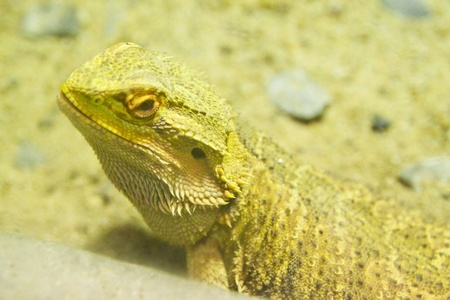 A Bearded dragon (pogona vitticeps) Stock Photo - 9840230