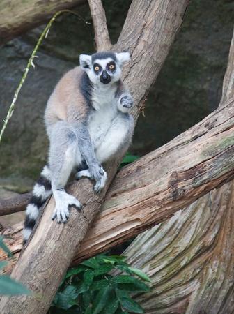 Beautiful lemur photo