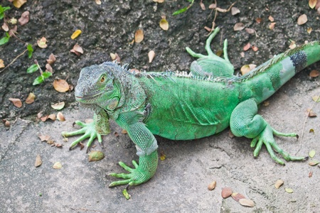Green Iguana on ground photo