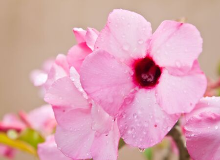 Floral background. Tropical flower Pink Adenium. photo