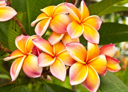 Plumeria flowers photo