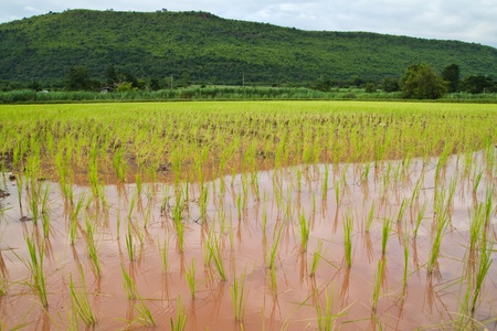 irrigated: Paddy and the rice seedlings in front of mountain background Stock Photo