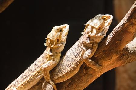 bearded dragon lizard: Mating of Bearded dragons (pogona vitticeps)
