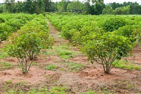 biodiesel plant: Jatropha plant in countryside of Thailand