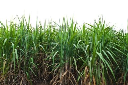 Sugar cane isolate on white background. Standard-Bild