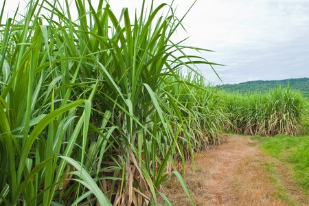 Sugarcane and road to the plant. Stock Photo - 10371400