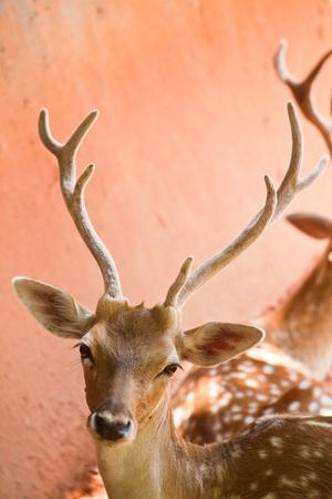 white tail deer: Fallow deer  close up