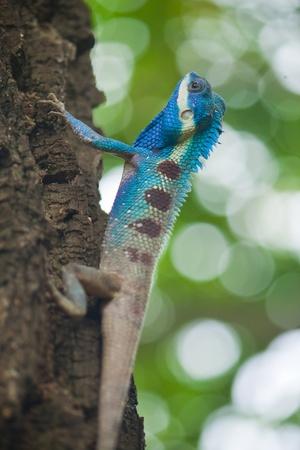 Closeup of blue iguana, Thailand. Stock Photo - 10416642
