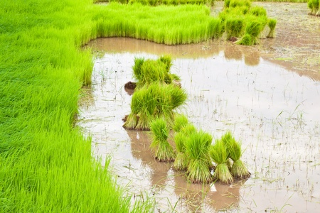 paddy rice in field Stock Photo - 10431069