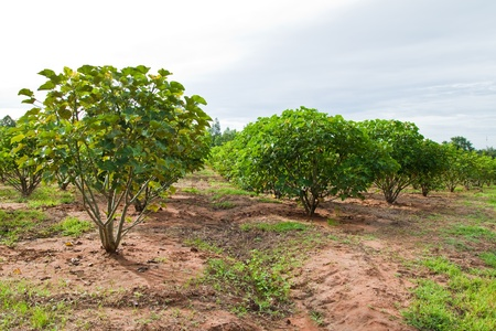 biodiesel: Jatropha plant in countryside of Thailand