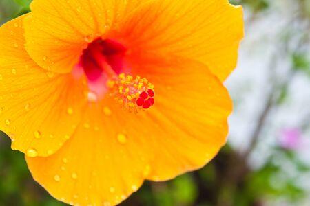 Hibiscus,Tropical flower photo