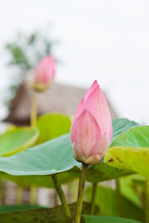 Pink Lotus on green leaves background. Stock Photo