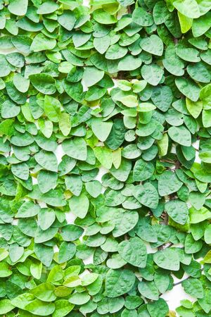 The Green Creeper Plant on the wall for background. photo