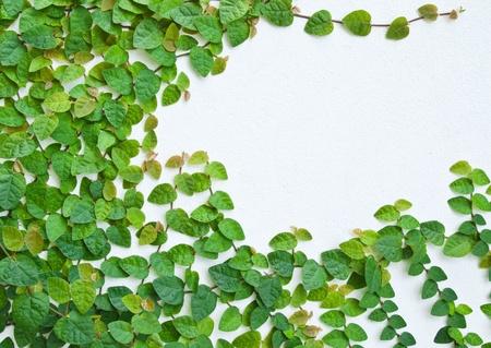 hojas parra: La planta de enredadera verde en la pared de fondo. Foto de archivo