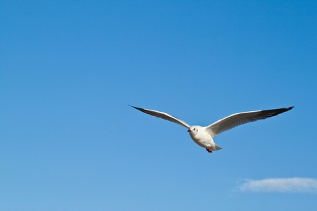 seagull: Seagull in blu sky background Stock Photo