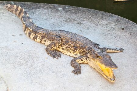 Crocodile resting beside the pool photo