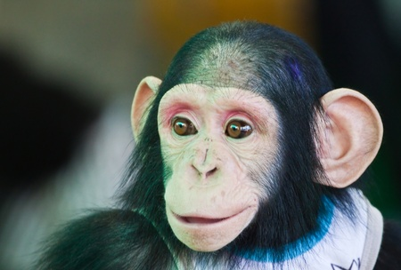 clowning: Young Chimpanzee smiling