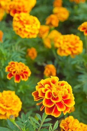 the yellow marigold