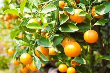 fruit drop: Orange on tree