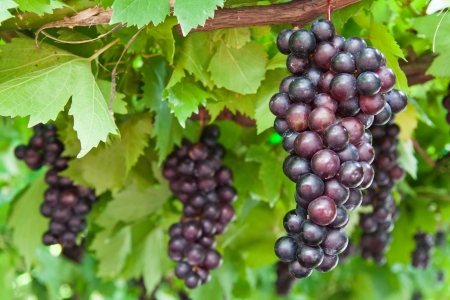 ripening grape clusters on the vine Stock Photo - 13883351