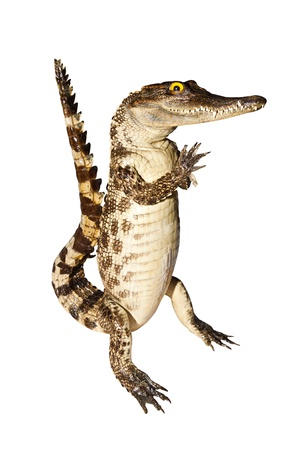 Crocodile stuff isolate on white background with clipping path Stock Photo - 14201970