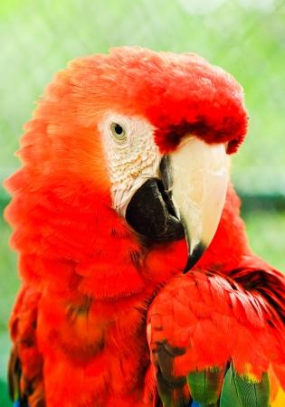 Beautiful red macaw close up photo
