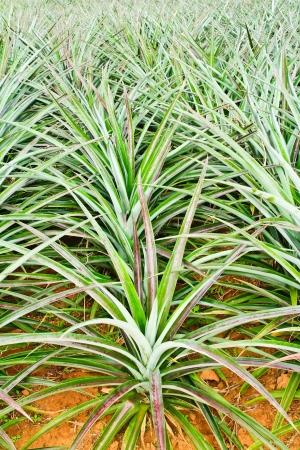 pineapple tree: �rbol joven en la planta de la pi�a hasta Clode