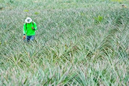 fertilizing: Fertilizing pineapple farmers with backpack sprayer