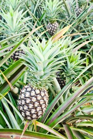 Pineapple plant  photo