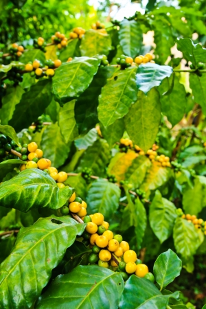 Coffee beans on tree in farm Stock Photo - 14937247