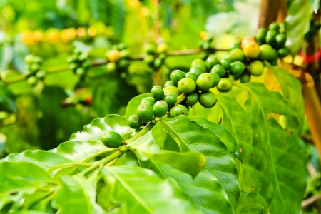 Coffee beans on tree in farm photo
