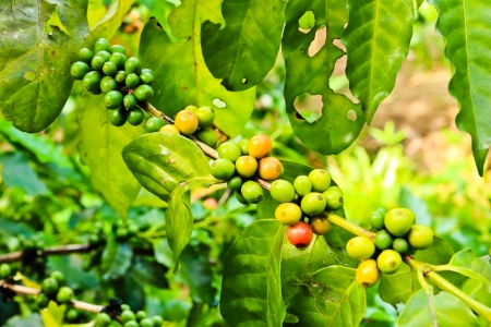 Coffee beans on tree in farm Stock Photo - 15100864