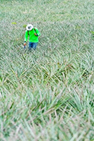 Fertilizing pineapple farmers with backpack sprayer  photo