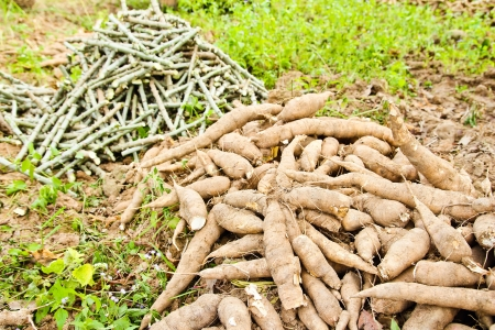 asian produce: Pile of cassava bulb and cassava trunk cutting on the ground