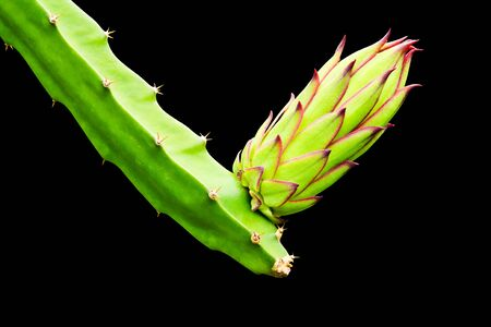 dragon fruit bud on tree isolated on black background photo