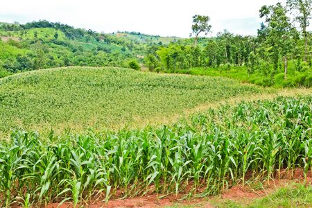Corn field on the mountain in countryside,Thailand   photo