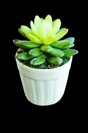 surrogate: false cactus plant made by rubber tree in white pot isolated on black background with clipping path Stock Photo