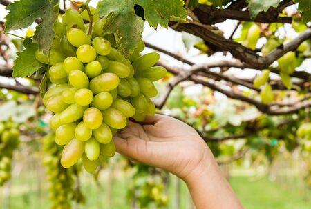 tending: hand holding grape tending in vineyard