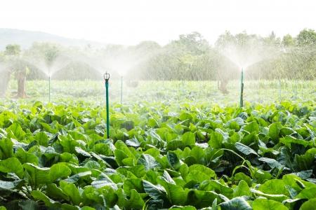 sprinkler irrigation in cauliflower field  Standard-Bild