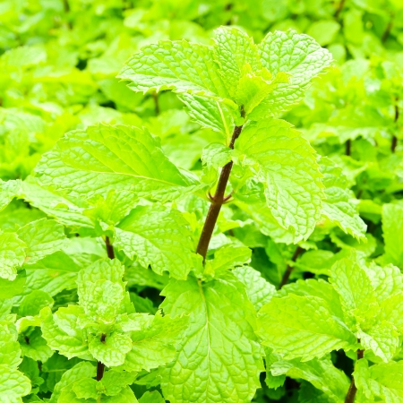 Fresh green mint plant photo